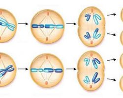 Kısaca mayoz ve mitoz hücre bölünmesi