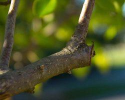 İSMEK Meyve Ağaçlarında Aşılama kursu